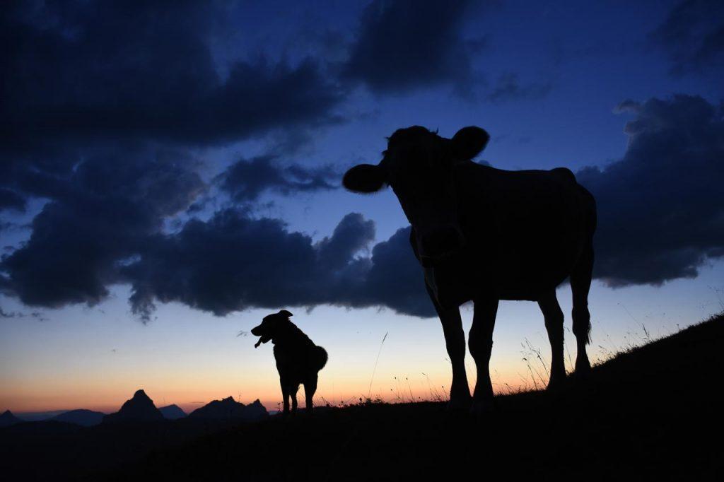 Sonnenuntergang Kuh Tschinga Adlerhorst