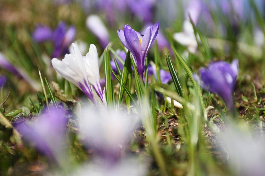 Krokus im Frühling, Adlerhorst