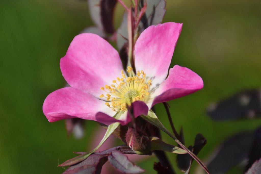 Adlerhorst Blumen