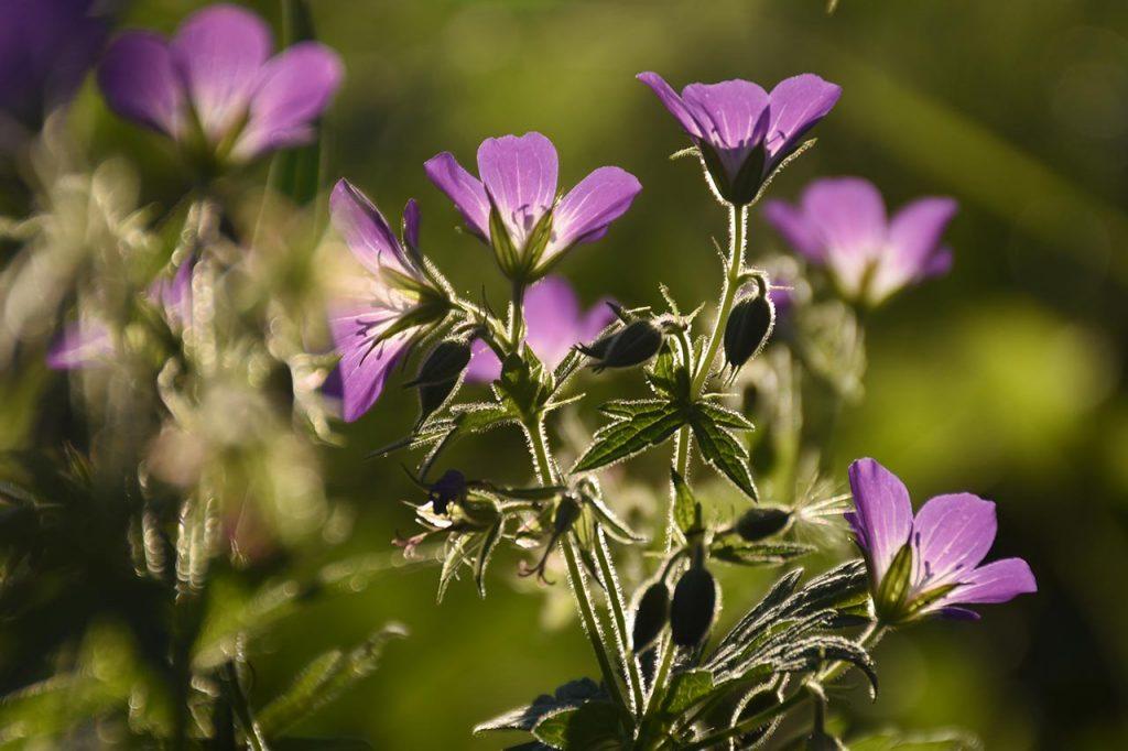 Adlerhorst Alpwiese Blumen