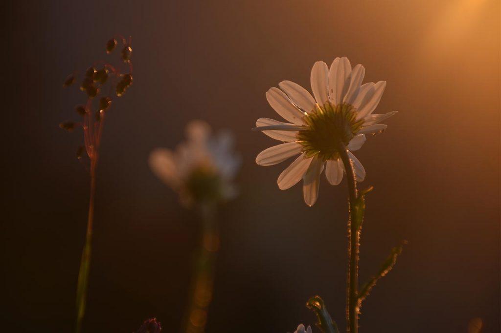 Adlerhorst Margariten Blumen