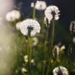Löwenzahn Blumen Hoch-Ybrig