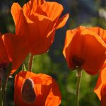 Mohn Blumen Garten Adlerhorst
