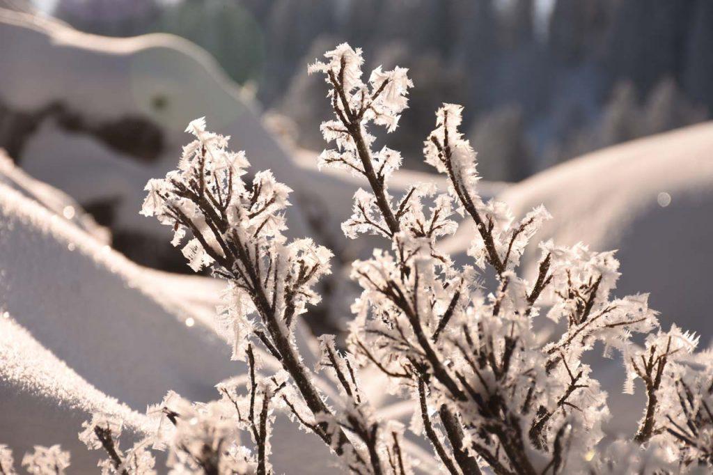 Winter Detail Ast Hoch-Ybrig Tubenmoos